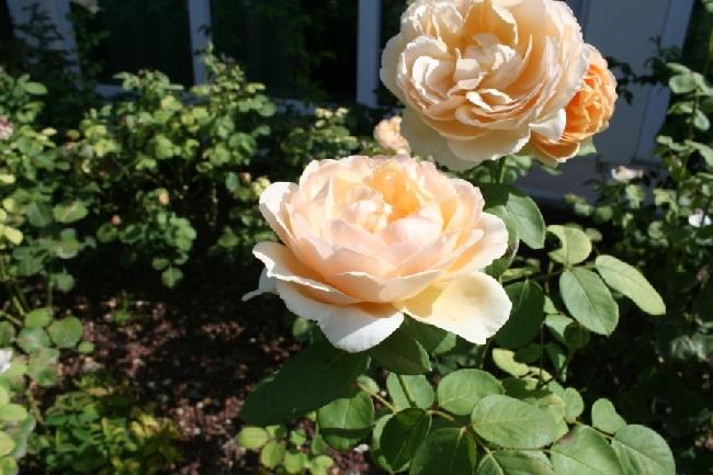 09_ROSE